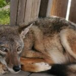 Wild Coyote Saved From Suffocation in a Container!
